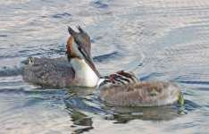 Gr Cr Grebe family - 7617