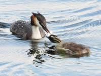 Gr Cr Grebe family - 7630
