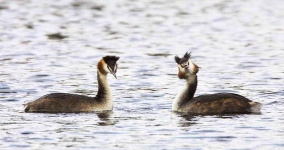 Gr Cr Grebe pair - 6813