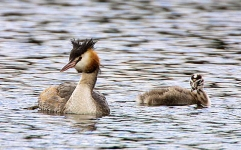 Gr Crested Grebe with chick - 6836