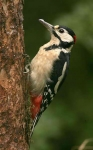 Gr Sp Woodpecker - 0172