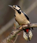 Gr Sp Woodpecker - 3065