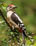 Gr Sp Woodpecker - 9182