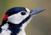 Gr Sp Woodpecker-Portrait - 8157