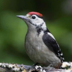 Gr Sp Woodpecker chick - 1023