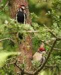 Gr Sp Woodpecker - chick - 7695