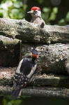 Gr Sp Woodpecker - male and chick - 1053