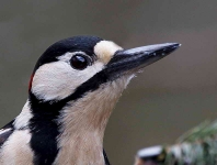 Gr Sp Woodpecker-portrait - 0745