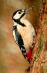 Gr.Sp.Woodpecker - 2770