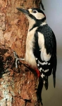 Gr.Sp.Woodpecker - 2939