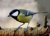 Great Tit - 0021