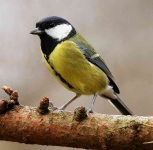 Great Tit - 0124