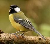 Great Tit - 0223