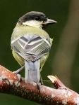 Great Tit - 0402