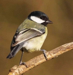 Great Tit - 0491
