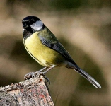 Great Tit - 0523
