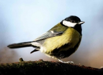 Great Tit - 0624