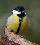 Great Tit - 0643