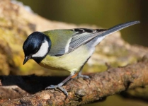 Great Tit - 1060