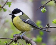 Great Tit - 1221