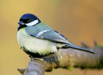 Great Tit - 3188