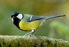 Great Tit - 3592