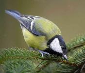 Great Tit - 3813