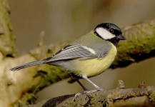 Great Tit - 3934