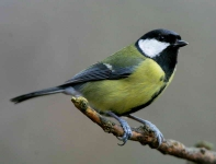 Great Tit - 4081
