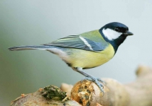 Great Tit - 4833