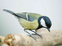 Great Tit - 4937