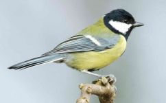 Great Tit - 5092