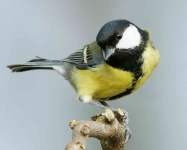 Great Tit - 5096