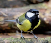 Great Tit - 7911