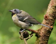 Great Tit - 8398