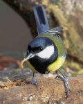 Great Tit - 8556