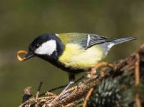 Great Tit - 9331