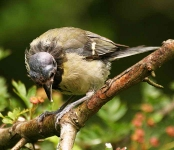 Great Tit - bald - 7795
