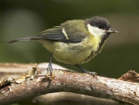Great Tit chick - 1346