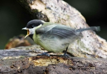 Great Tit chick - 2169