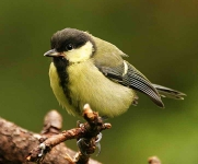 Great Tit chick - 7873