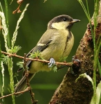 Great Tit chick - 7882