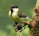 Great Tit chick - 8395