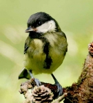Great Tit chick - 8488