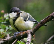 Great Tit chick - 9033