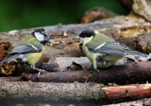 Great Tit feeding chick - 2167