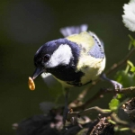 Great Tit with food - 0811
