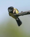 Great Tit with food - 6441