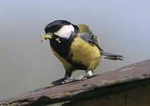 Great Tit with food - 6450