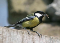 Great Tit with food - 6461